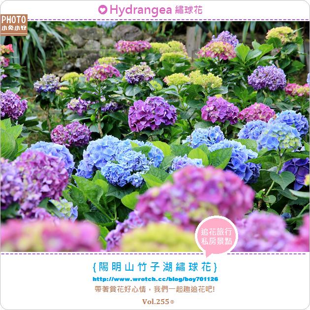 『繡球花』陽明山竹子湖,迷人繡球花盛開中(5/27花況)