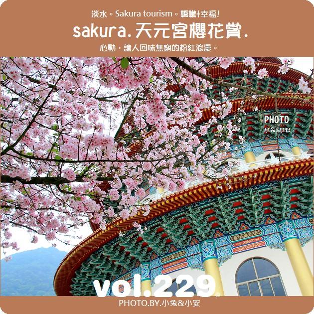 『櫻花前線』2013淡水天元宮,幸福拍不停(3/25花況)