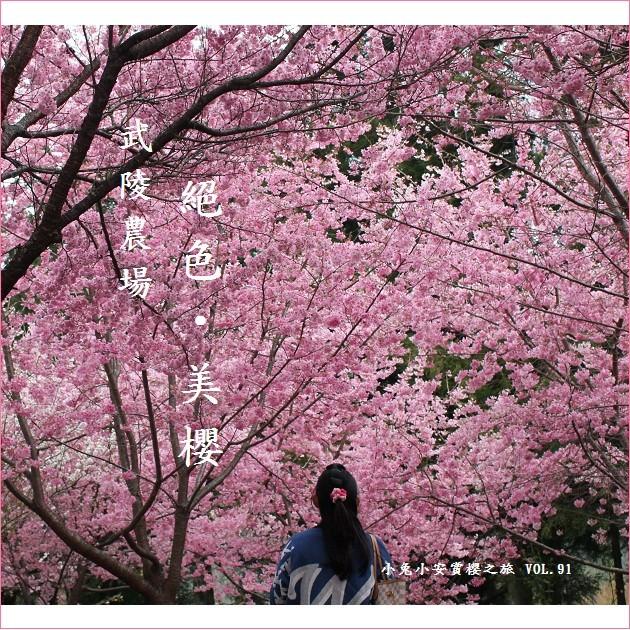 『武陵農場』2012武陵賞櫻,追逐絕色美櫻。