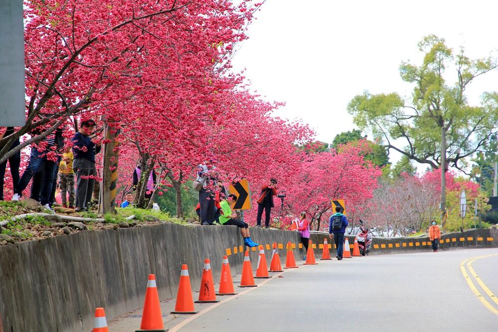 台中新社櫻花季 | 大南坡喬木咖啡櫻花風暴,怒放酒紅櫻花美如星空~