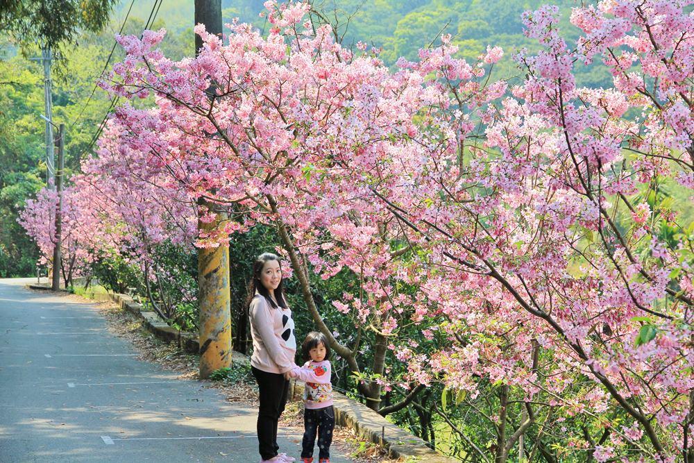 后里粉紅風暴 | 唯美賞櫻秘境!橘祥合院富士櫻花林大爆發!