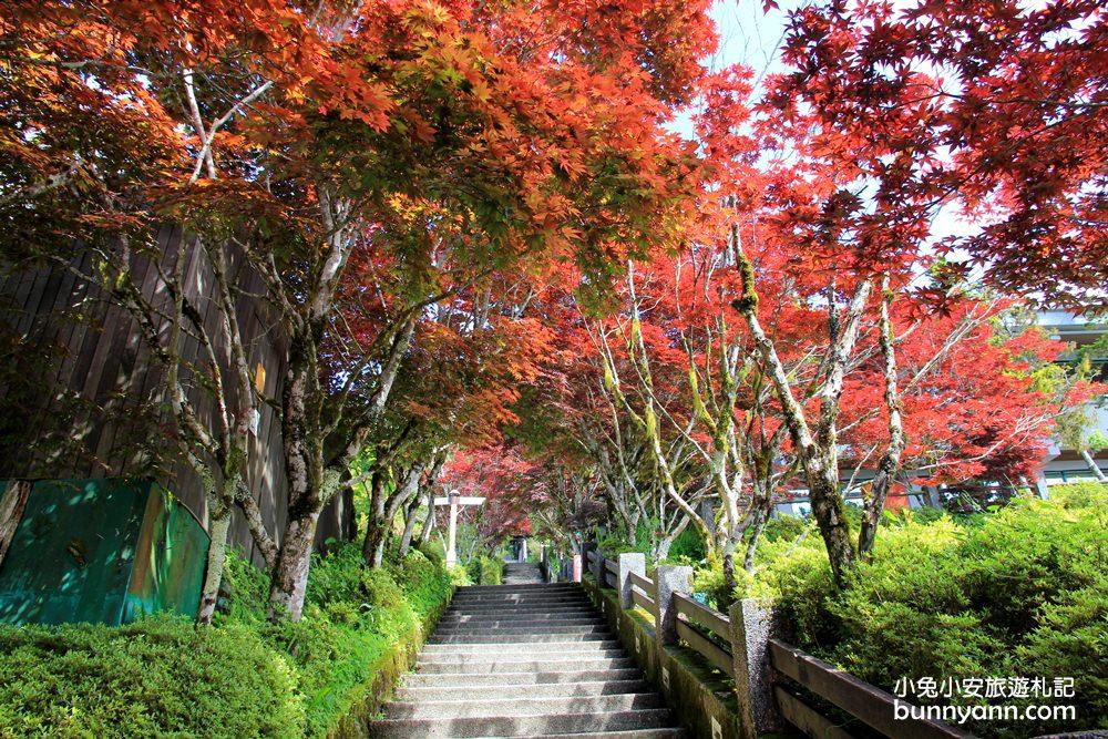 宜蘭紅葉季 | 宜蘭太平山莊紅葉隧道,夏季超美火紅紫葉槭韻染翠綠山嵐~