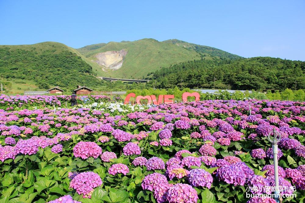 竹子湖繡球花季 | 秘境!頂湖財福繡球花園,超大面積繡球花田美麗綻放中!