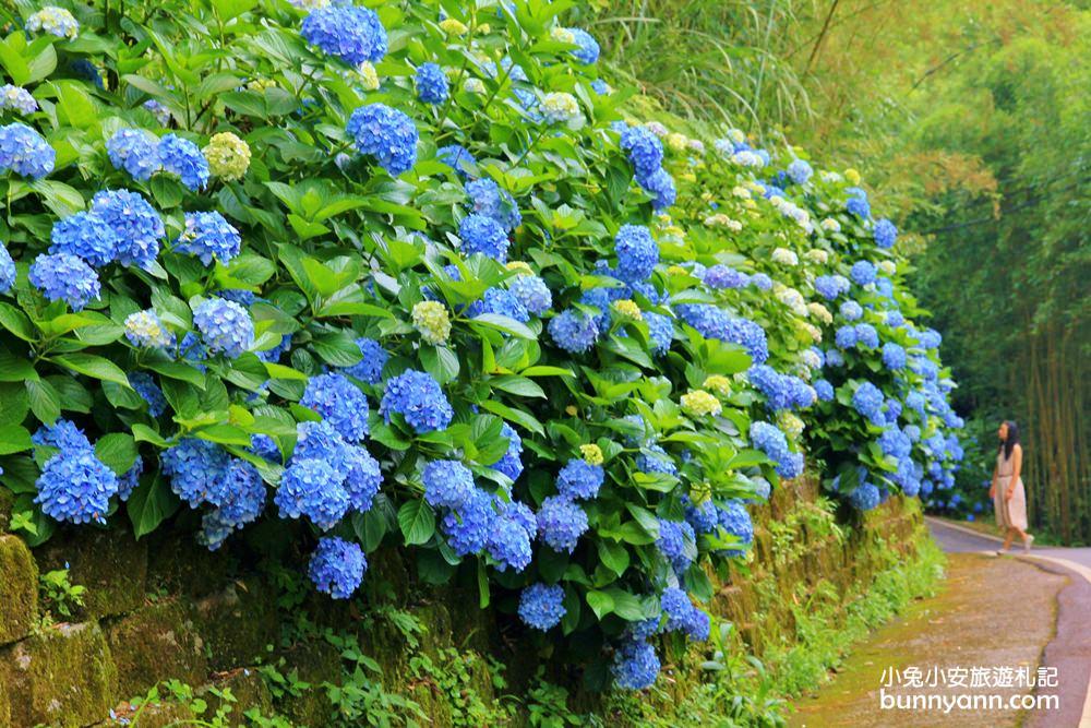 南庄繡球花季 | 浪漫盛夏賞花趣,高山青鱒魚養殖場藍色繡球花團怒放中~