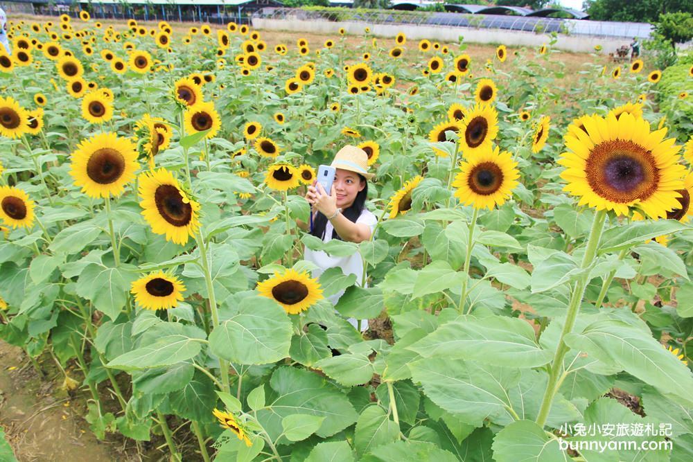 桃園景點》向陽農場向日葵迷宮,免費玩!比人高向日葵打造太陽花迷宮超好拍~