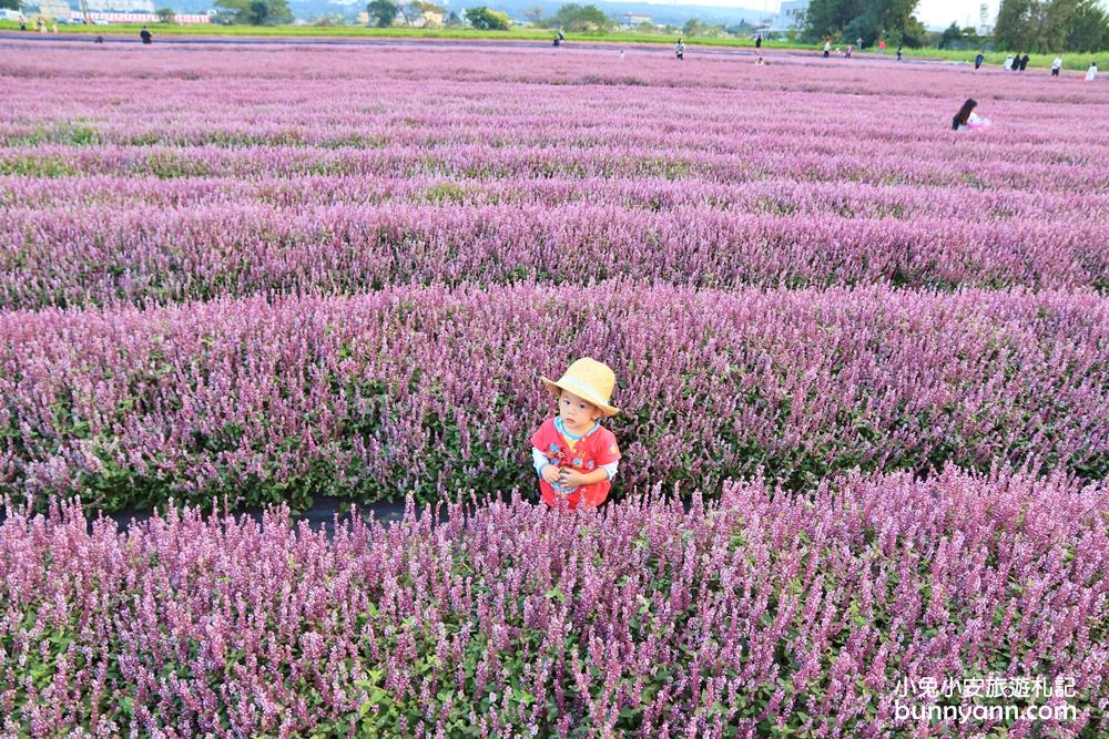 2018桃園花彩節》楊梅浪漫紫色仙草花海,走進南法紫色普羅旺斯遇見幸福~