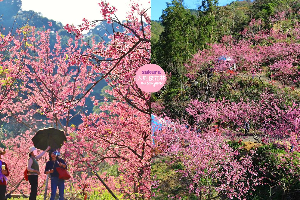 新北》三峽大熊櫻花林,櫻花七成綻放中,浪漫花況曝光,週末搶先打卡趣~